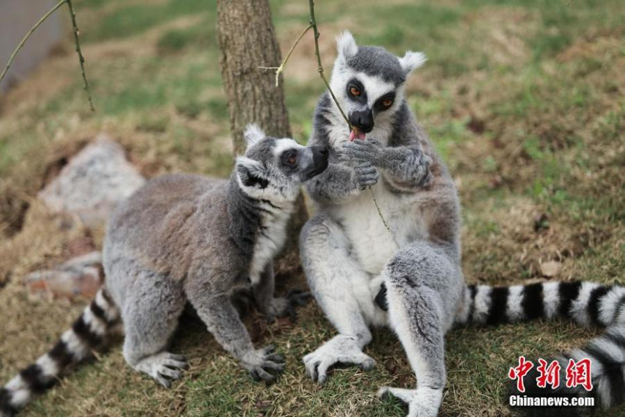 Two ring-tailed lemurs are seen at the Locajoy Wildlife Park in Chongqing, Feb. 14, 2019. (Photo: China News Service/Wang Chengjie)