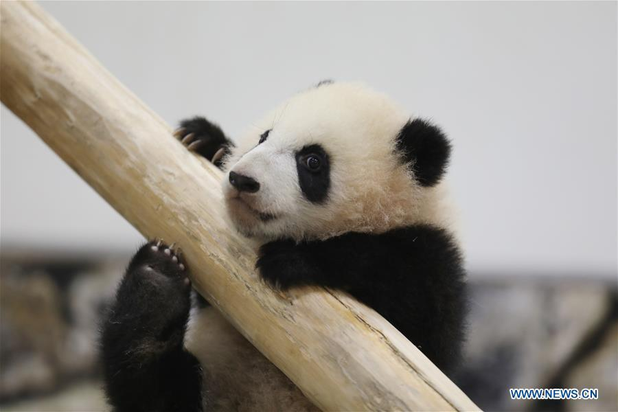 Giant panda Saihin plays on the slide, her half-year-old gift at the Adventure World in Shirahama, Wakayama, Japan, Feb. 14, 2019. Born on August 14, 2018, Saihin is 90 centimeters in length and weighs 9.86 kilograms now. (Xinhua/Du Xiaoyi)