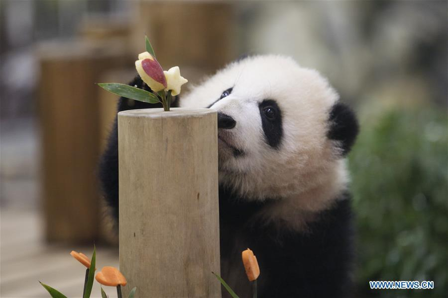 Giant panda Saihin looks at the sliced apple and carrot on her \