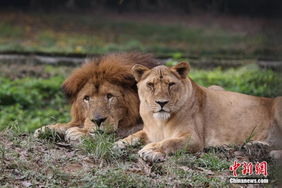Two lions are seen at the Locajoy Wildlife Park in Chongqing, Feb. 14, 2019. (Photo: China News Service/Wang Chengjie)