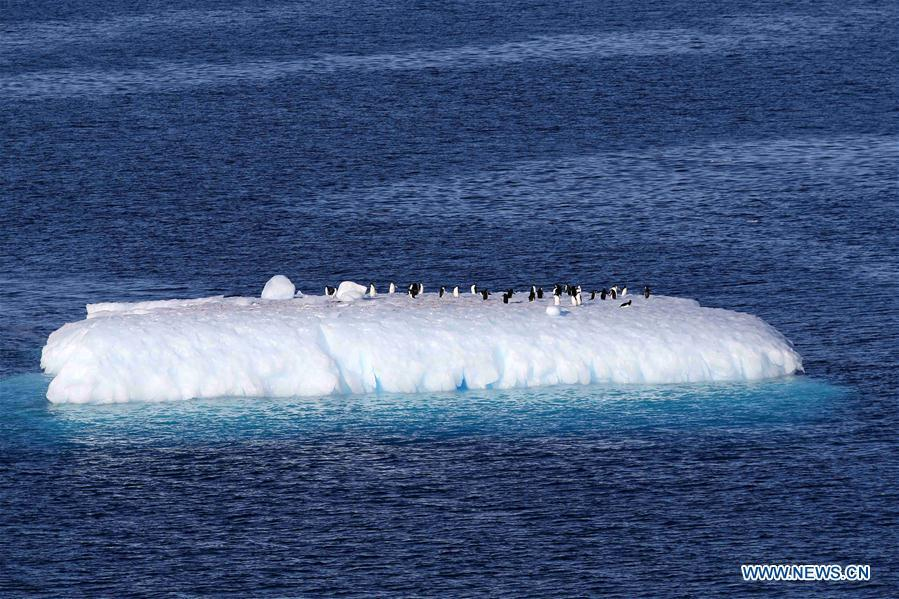 Photo taken on Feb. 15, 2019 shows penguins on an iceberg in Antarctica. China\'s research icebreaker Xuelong, with 126 crew members aboard on the 35th Antarctic research mission, on Thursday local time left the Zhongshan Station on its way back to China. It is expected to arrive in Shanghai in mid-March. (Xinhua/Liu Shiping)
