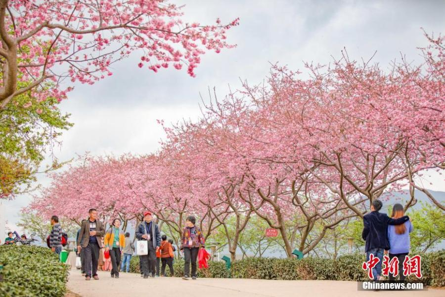 A view of cherry blossoms at a tea plantation in the Taiwan Farmers Business Park in Zhangping City, East China\'s Fujian Province. The park is an entrepreneurship hub for Taiwan farmers. The tea plantation covers an area of 66 hectares. (Photo: China News Service/Chen Xiurong)