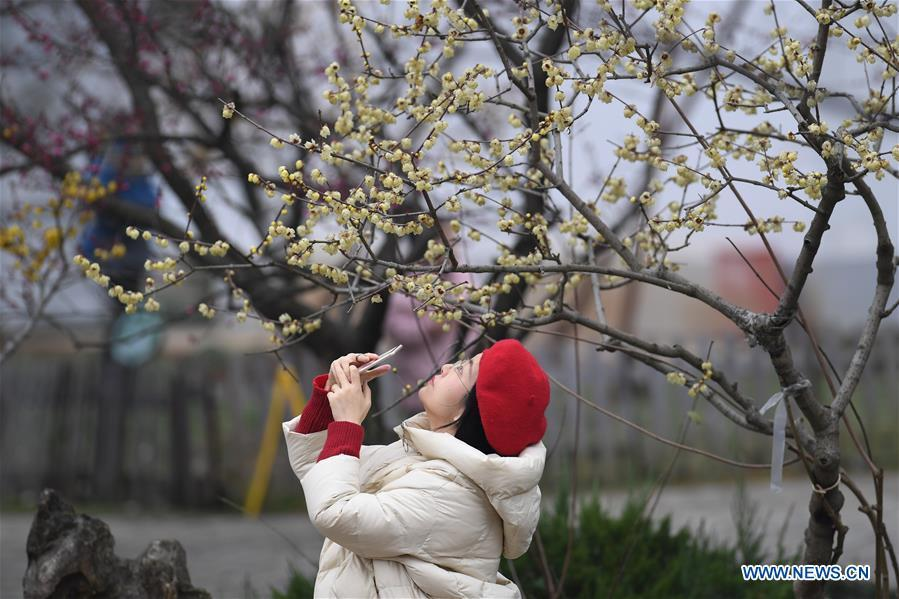 A tourist takes photos of plum flowers at a botanical garden in Hefei, capital of east China\'s Anhui Province, Feb. 16, 2019. (Xinhua/Zhang Duan)