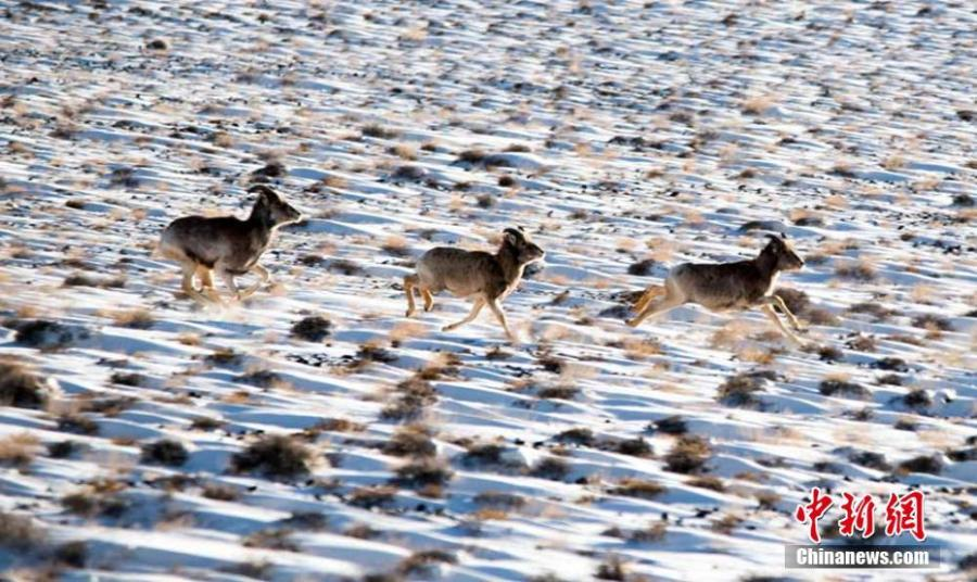 Wild animals are seen on the grasslands of the Yanchiwan National Nature Reserve in Subei County, Jiuquan City, Gansu Province, Feb. 14, 2019. The nature reserve, an important wetland, is home to many rare wild animals under state protection, such as the snow leopard and wild yak. In recent years, the county has strengthened its awareness campaign to boost wildlife protection.  (Photo: China News Service/Wang Binyin)