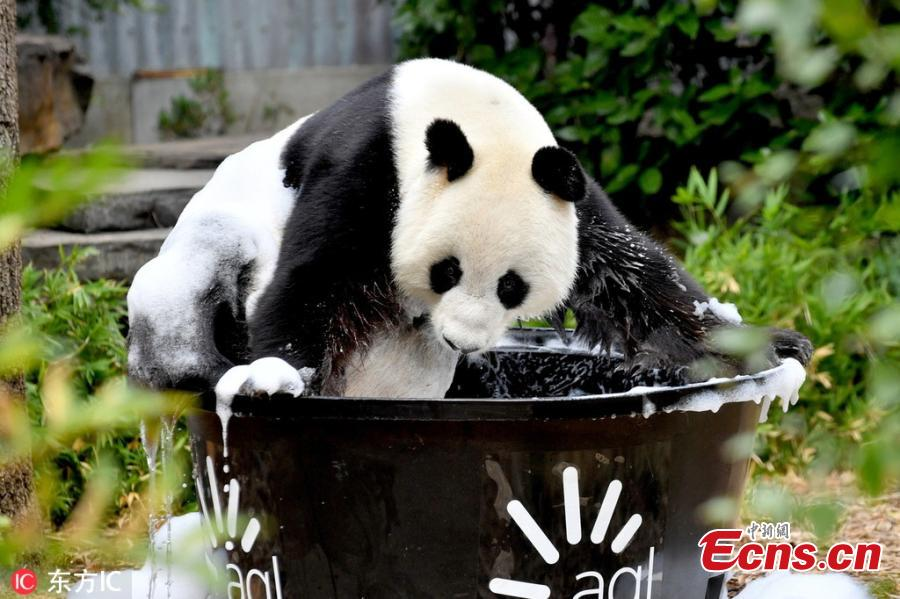 Giant panda Wang Wang plays with water at the Adelaide Zoo, Australia, Feb. 17, 2019. (Photo/IC)