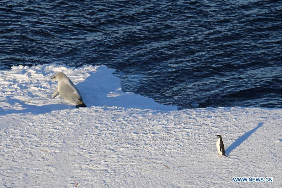 Photo taken on Feb. 15, 2019 shows a penguin and a seal on an iceberg in Antarctica. China\'s research icebreaker Xuelong, with 126 crew members aboard on the 35th Antarctic research mission, on Thursday local time left the Zhongshan Station on its way back to China. It is expected to arrive in Shanghai in mid-March. (Xinhua/Liu Shiping)