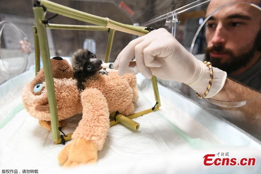 A veterinarian from the zoo of Besancon feeds \'Soa\', a female crowned sifaka, in Besancon, eastern France, Feb. 18, 2019. The crowned sifaka is a critically endangered species from Madagascar. There were only 6 females over 20 individuals living in 7 zoos worldwide end of 2018. (Photo/Agencies)
