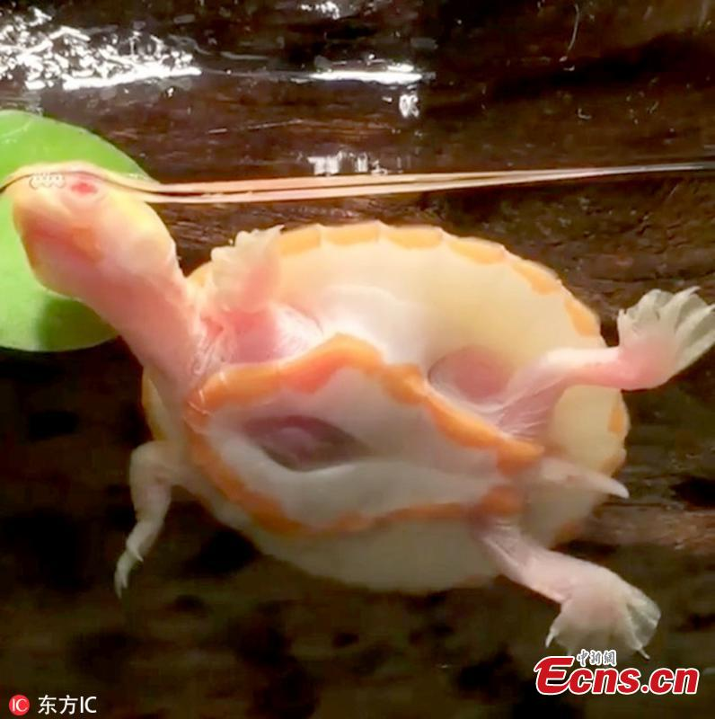 An adorable albino turtle, called Hope, has gone viral because its heart beats out of its chest. Hope lives with her owner Michael Aquilina in New Jersey, U.S. \