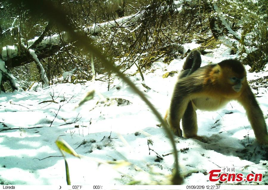 A photo taken by infrared camera shows a golden snub-nosed monkey at the Wujiao Panda Nature Reserve in Jiuzhaigou County, Southwest China\'s Sichuan Province. Researchers discovered a golden snub-nosed monkey and a giant panda in the same area in the nature reserve. (Photo provided to China News Service)