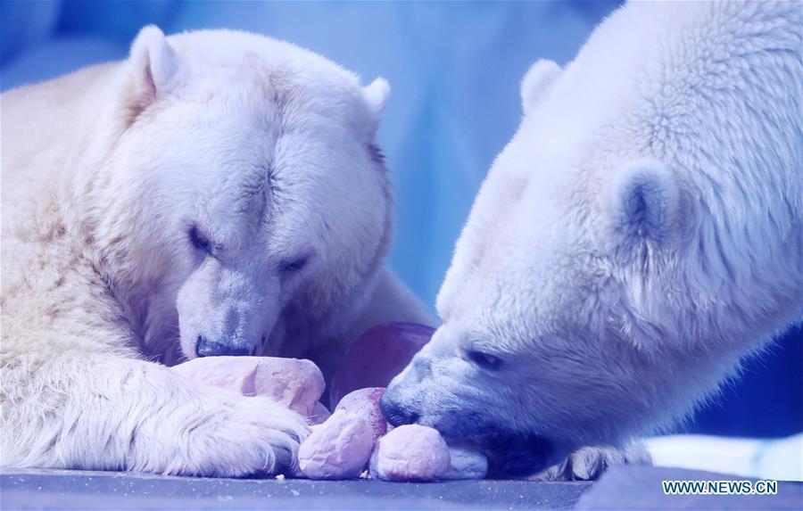 Polar bears feed on exclusive \
