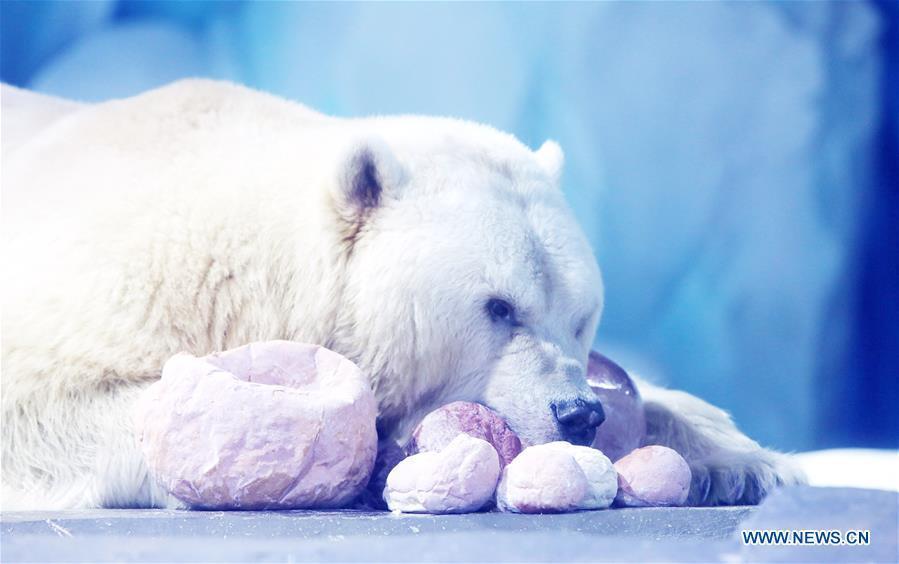 A polar bear feeds on exclusive \