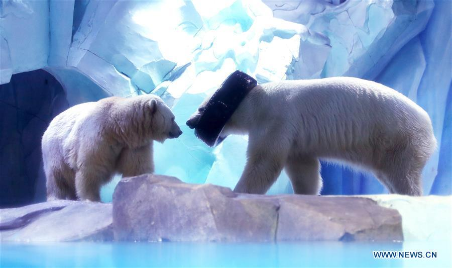 Polar bears play with a tire collar at Haichang ocean park in east China\'s Shanghai, Feb. 19, 2019, on the occasion of the Chinese traditional Lantern Festival. Two polar bears named \