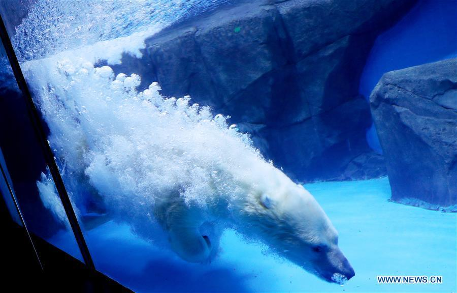 A polar bear plunges into water at Haichang ocean park in east China\'s Shanghai, Feb. 19, 2019, on the occasion of the Chinese traditional Lantern Festival. Two polar bears named \