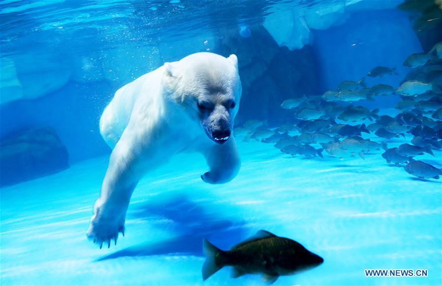 A polar bear catches fish at Haichang ocean park in east China\'s Shanghai, Feb. 19, 2019, on the occasion of the Chinese traditional Lantern Festival. Two polar bears named \