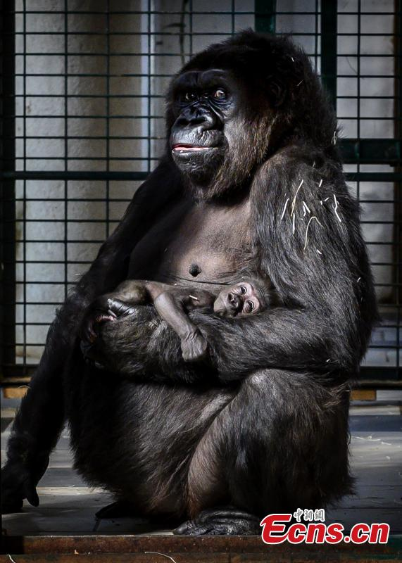 Photo shows female gorilla Gypsy holds her four-week-old first baby at the zoological park of Saint-Martin-la-Plaine, France, Feb. 20, 2019. (Photo/Agencies)