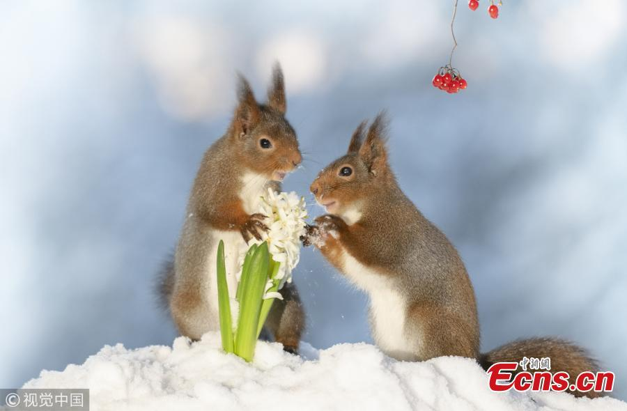 Geert Weggen, an award-winning photographer who specializes in clicking red squirrels in his back garden in Sweden, has released Valentine\'s Day themed creations. (Photo/VCG)