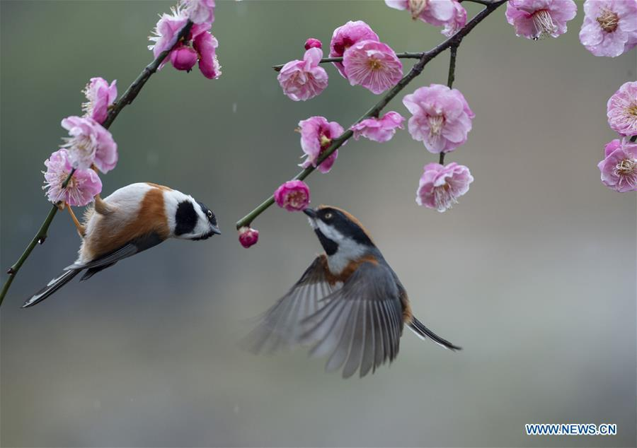 <?php echo strip_tags(addslashes(Photo taken on Feb. 21, 2019 shows birds gathering around plum blossom at a plum garden in Wuxi, east China's Jiangsu Province. (Xinhua/Pan Zhengguang))) ?>