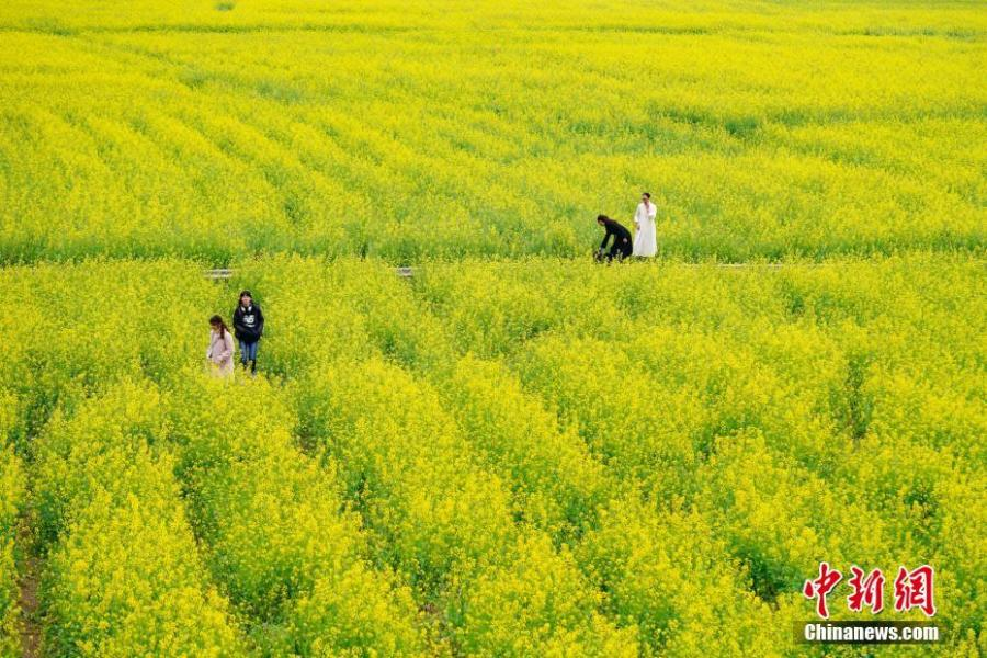 Rapeseed flowers in full bloom at Wanfenglin scenic spot in Xingyi City, Southwest China's Guizhou Province, Feb. 21, 2019. With rapeseed fields spanning 667 hectares, the scenic spot is a huge attraction to tourists who like the yellow flowers. (Photo: China News Service/He Junyi)