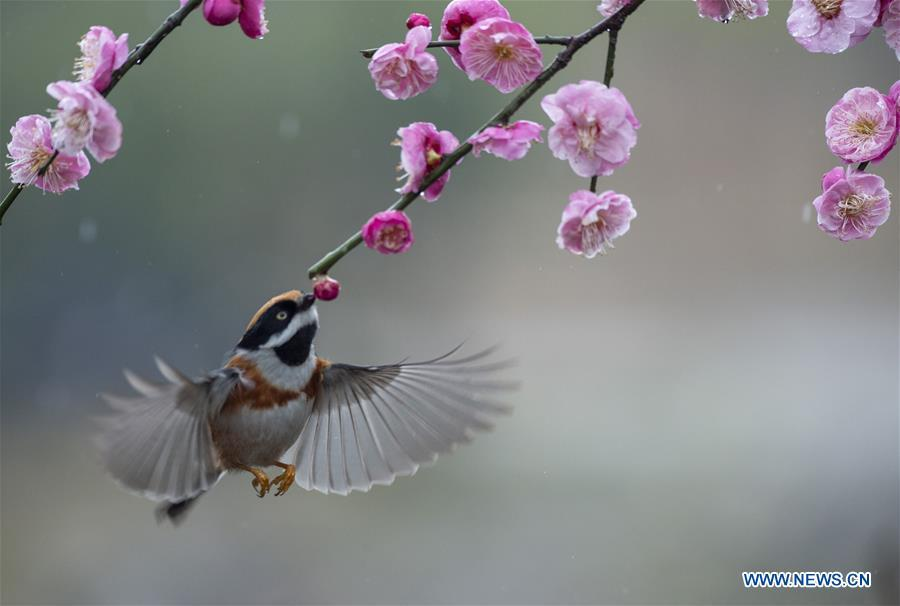 <?php echo strip_tags(addslashes(Photo taken on Feb. 21, 2019 shows a bird flying around plum blossom at a plum garden in Wuxi, east China's Jiangsu Province. (Xinhua/Pan Zhengguang))) ?>