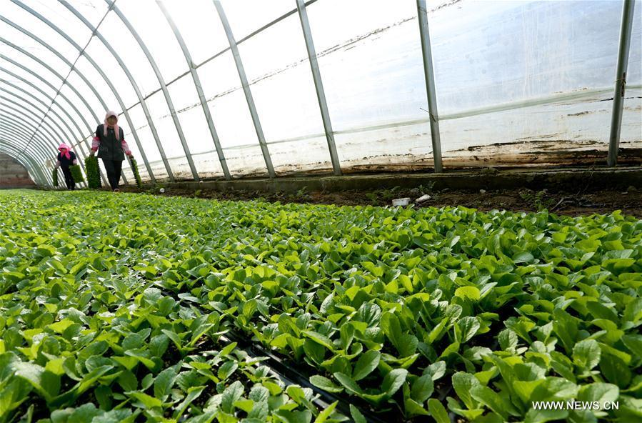 Farmers work at a greenhouse in Leizhai Village of Dangzhai Town in Ganzhou District of Zhangye, northwest China\'s Gansu Province, Feb. 22, 2019. (Xinhua/Wang Jiang)