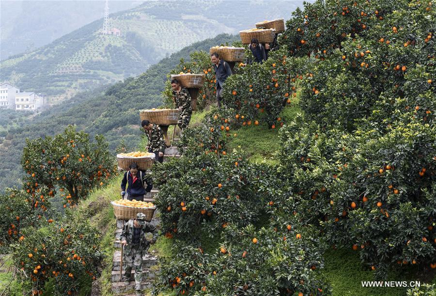 Villagers transport oranges in the field at Wangjialing Village of Guojiaba Township in Zigui County, central China\'s Hubei Province, Feb. 22, 2019. (Xinhua/Zheng Jiayu)