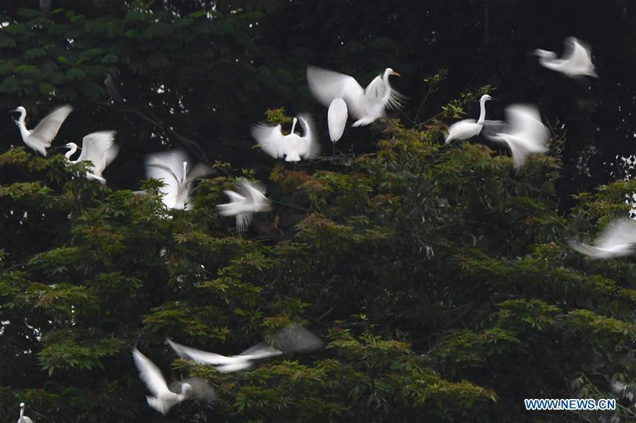 Egrets fly over trees at Bihu ecological park in Zhangzhou, southeast China\'s Fujian Province, Feb. 21, 2019. (Xinhua/Jiang Kehong)