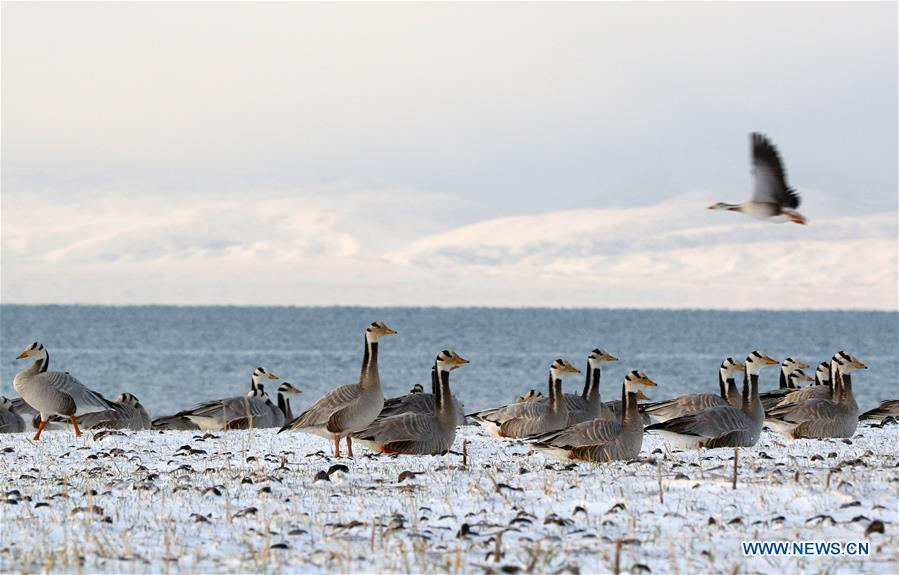 Bar-headed geese rest on an island on Qinghai Lake in northwest China\'s Qinghai Province, April 15, 2016. China\'s largest inland saltwater lake saw its water level rise 0.48 meters in 2018 as a result of increased rainfall, the local meteorological center said. Qinghai Lake, situated in northwest China\'s Qinghai Province, has been expanding since 2005. The water level rose to 3,195.41 meters at the end of last year, according to the Qinghai hydrology and water resources investigation bureau. Experts said the rising level of the lake could help increase the area\'s humidity and temperature, which contributes to the improvement of the region\'s wildlife habitat and ecosystem. (Xinhua/Xing Zhi)