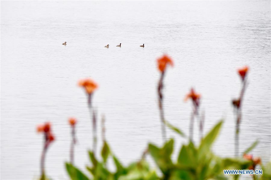 Waterfowl cruise on a lake at Bihu ecological park in Zhangzhou, southeast China\'s Fujian Province, Feb. 21, 2019. (Xinhua/Jiang Kehong)