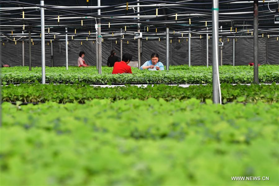 Villagers work at a cucumber seedling base in Xiaomazhuang Township of Luanzhou City, north China\'s Hebei Province, Feb. 22, 2019. (Xinhua/Dong Jun)