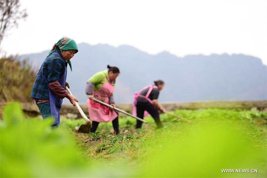 Villagers work at a vegetable planting base in Yegai Village of Paidiao Township, Danzhai County of Qiandongnan Miao and Dong Autonomous Prefecture, southwest China\'s Guizhou Province, Feb. 22, 2019. (Xinhua/Yang Wukui)