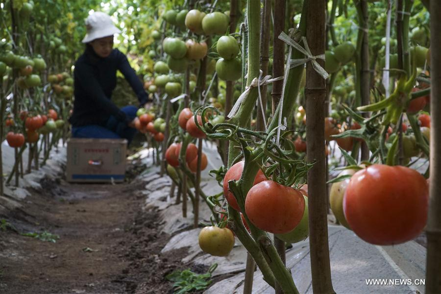 A farmer picks tomatoes at a greenhouse in Wuzhuangzi Village of Puzidian Township in Zunhua City, north China\'s Hebei Province, Feb. 22, 2019. (Xinhua/Liu Mancang)