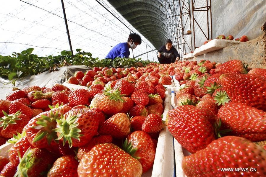 A villager packages strawberries at a cooperative in Xishaijiatuo Village of Xiaomazhuang Township in Luanzhou City, north China\'s Hebei Province, Feb. 22, 2019. (Xinhua/Dong Jun)