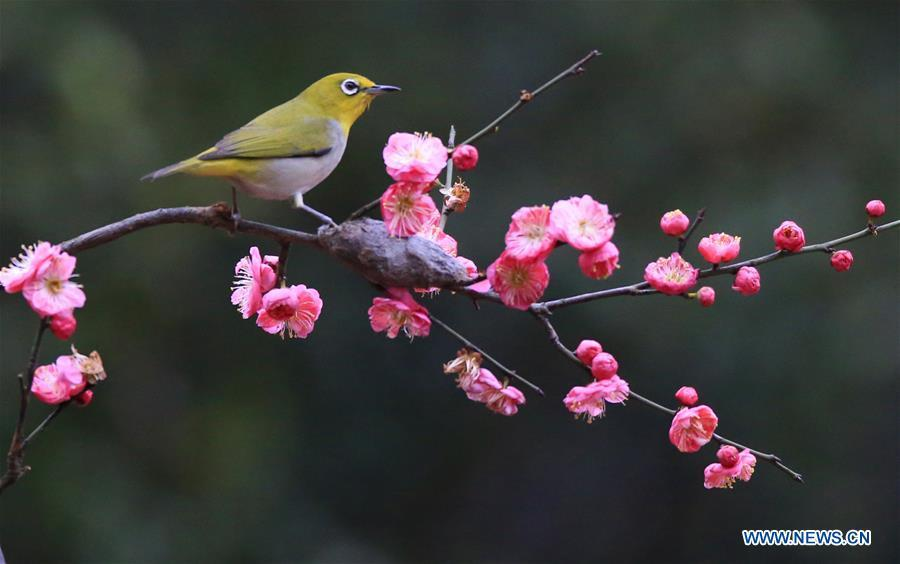 A bird rests on plum blossom branch in Wuxing Village of Hengyang, central China\'s Hunan Province, Feb. 22, 2019. (Xinhua/Cao Zhengping)