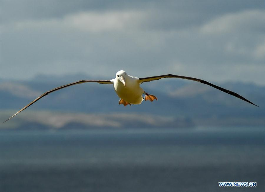 A Northern Royal albatross flies at the Royal Albatross Centre in Taiaroa Head, Dunedin, New Zealand, on Feb. 24, 2019. Every year over 40 pairs of Northern Royal albatrosses nest and breed at the world\'s only mainland breeding colony at Taiaroa Head. By January this year, a total of 29 albatross chicks have hatched in the recent breeding season starting from September last year. (Xinhua/Guo Lei)