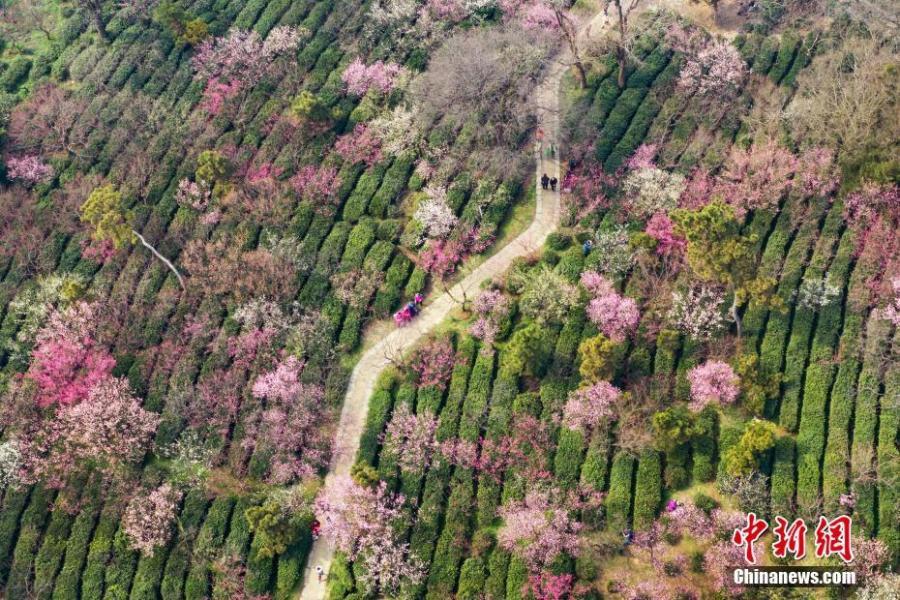 An aerial view of the plum blossom in Nanjing, East China\'s Jiangsu Province, Feb 24, 2019. (Photo: China News Service/Yang Bo)