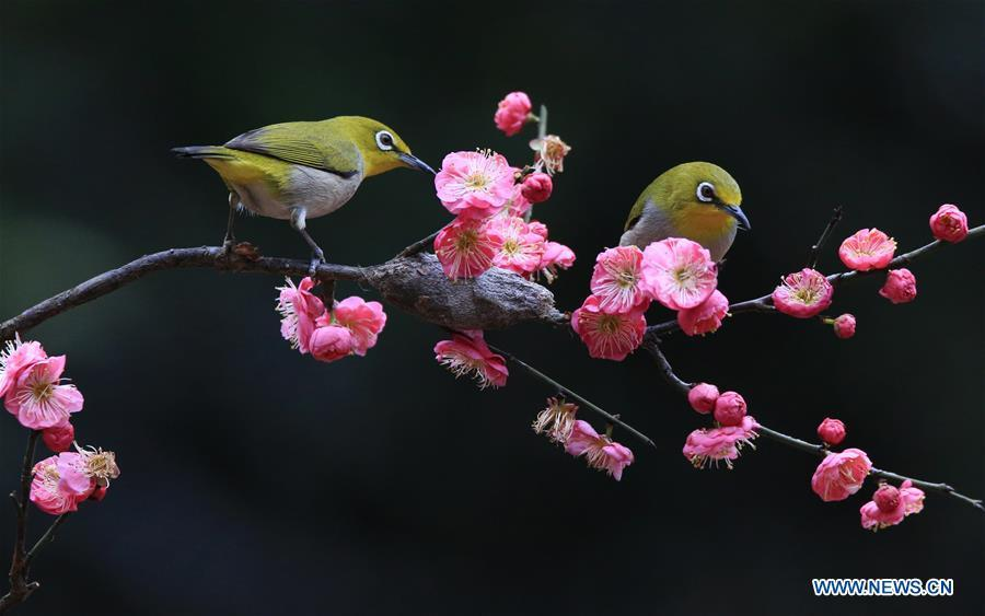 Birds are seen by plum blossom in Wuxing Village of Hengyang, central China\'s Hunan Province, Feb. 22, 2019. (Xinhua/Cao Zhengping)