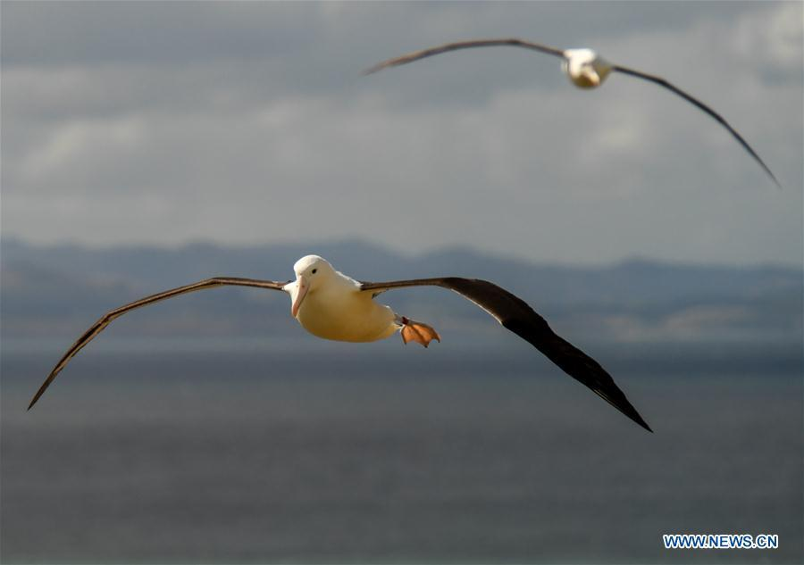 Northern Royal albatrosses fly at the Royal Albatross Centre in Taiaroa Head, Dunedin, New Zealand, on Feb. 24, 2019. Every year over 40 pairs of Northern Royal albatrosses nest and breed at the world\'s only mainland breeding colony at Taiaroa Head. By January this year, a total of 29 albatross chicks have hatched in the recent breeding season starting from September last year. (Xinhua/Guo Lei)