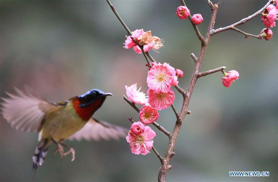 A bird flies to plum blossom in Wuxing Village of Hengyang, central China\'s Hunan Province, Feb. 22, 2019. (Xinhua/Cao Zhengping)
