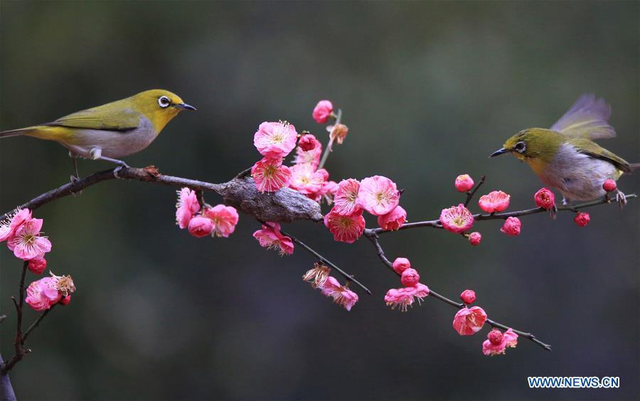 Birds gather around plum blossom in Wuxing Village of Hengyang, central China\'s Hunan Province, Feb. 22, 2019. (Xinhua/Cao Zhengping)