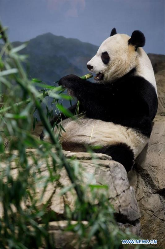 Giant Panda Mei Xiang eats treats in the giant panda house at the Smithsonian\'s National Zoo in Washington D.C., the United States, on Feb. 23, 2019. The Smithsonian\'s National Zoo in Washington D.C. held a housewarming event inside the giant panda house on Saturday to celebrate the completion of a new visitor exhibit. (Xinhua/Ting Shen)