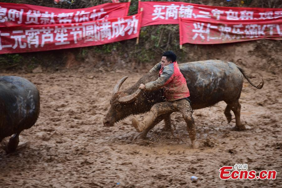 Spectators watch a buffalo fight during a competition in Xingren Village, Danzhai County, Southwest China\'s Guizhou Province, Feb. 23, 2019. The annual buffalo battle has become a big draw to tourists. (Photo: China News Service/Yang Wukui)
