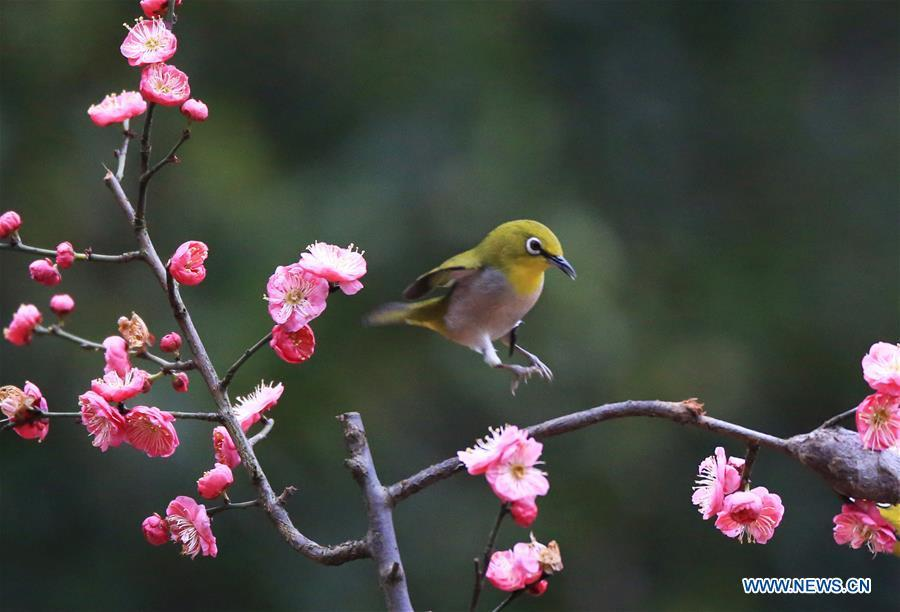A bird flies to plum blossom branch in Wuxing Village of Hengyang, central China\'s Hunan Province, Feb. 22, 2019. (Xinhua/Cao Zhengping)