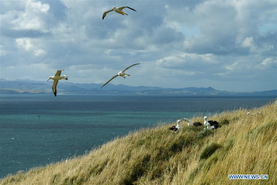 Northern Royal albatrosses are seen at the Royal Albatross Centre in Taiaroa Head, Dunedin, New Zealand, on Feb. 24, 2019. Every year over 40 pairs of Northern Royal albatrosses nest and breed at the world\'s only mainland breeding colony at Taiaroa Head. By January this year, a total of 29 albatross chicks have hatched in the recent breeding season starting from September last year. (Xinhua/Guo Lei)