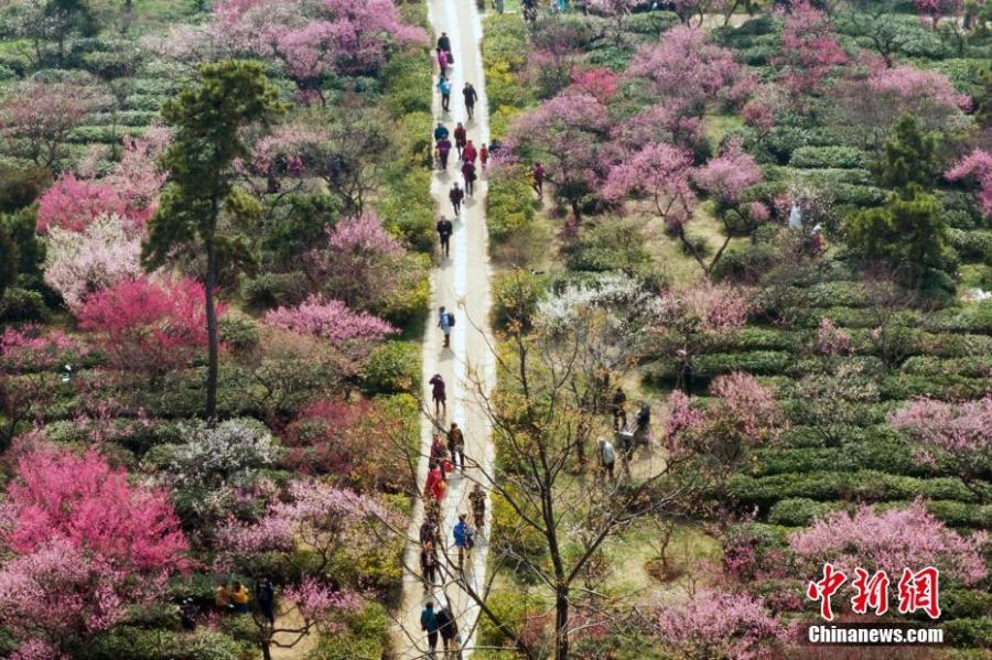 Sightseers take photos of the blooming plum flowers in Nanjing, East China\'s Jiangsu Province, Feb. 24, 2019.  (Photo: China News Service/Yang Bo)