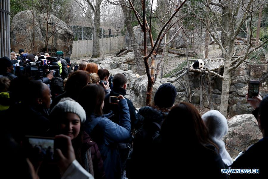 Visitors watch a giant panda in the giant panda house at the Smithsonian\'s National Zoo in Washington D.C., the United States, on Feb. 23, 2019. The Smithsonian\'s National Zoo in Washington D.C. held a housewarming event inside the giant panda house on Saturday to celebrate the completion of a new visitor exhibit. (Xinhua/Ting Shen)