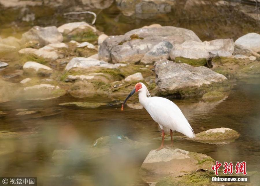 A crested ibis or Nipponia nippon is spotted by photography enthusiasts at a pond in Zhen\'an County, Shangluo City, Northwest China\'s Shaanxi Province. It is the first time the bird has been discovered in the city. (Photo/VCG)