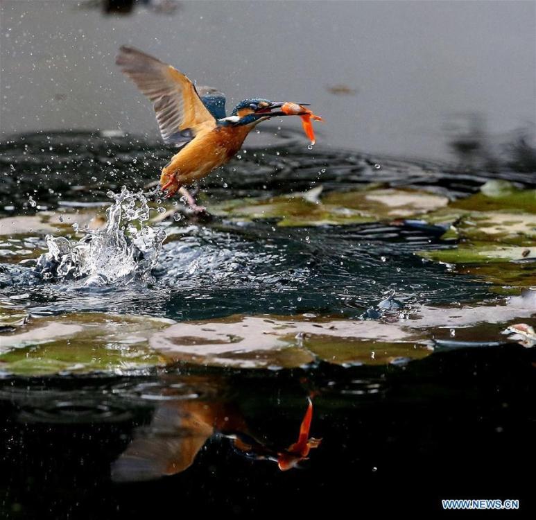 A kingfisher catches fish from a pond at the Meiyuan Garden in Wuxi City, east China\'s Jiangsu Province, Feb. 25, 2019. (Xinhua/Pan Zhengguang)