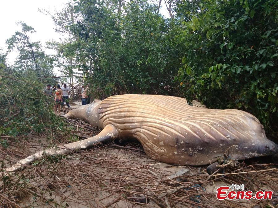 A humpback whale found dead in undergrowth on the Brazilian island of Marajo at the mouth of the Amazon River. Wildlife experts are searching for clues why the humpback, believed to be a 12-month-old calf, was about 15 meters from the ocean. (Photo/Agencies)