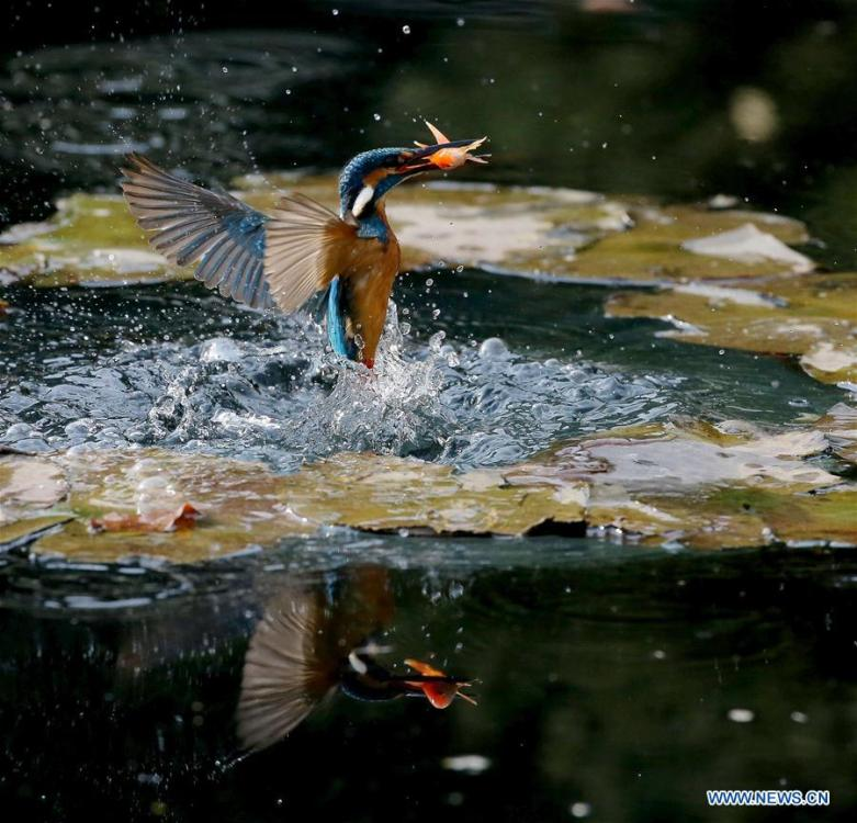 A kingfisher catches fish from a pond at the Meiyuan Garden in Wuxi City, east China\'s Jiangsu Province, Feb. 25, 2019. (Xinhua/Pan Zhengguang)