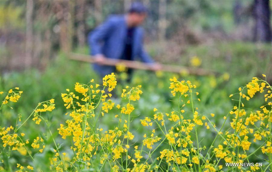 A farmer works in the field beside blooming cole flowers in Qidu Township of Yongfeng County in Ji\'an City, east China\'s Jiangxi Province, Feb. 27, 2019. (Xinhua/Liu Haojun)